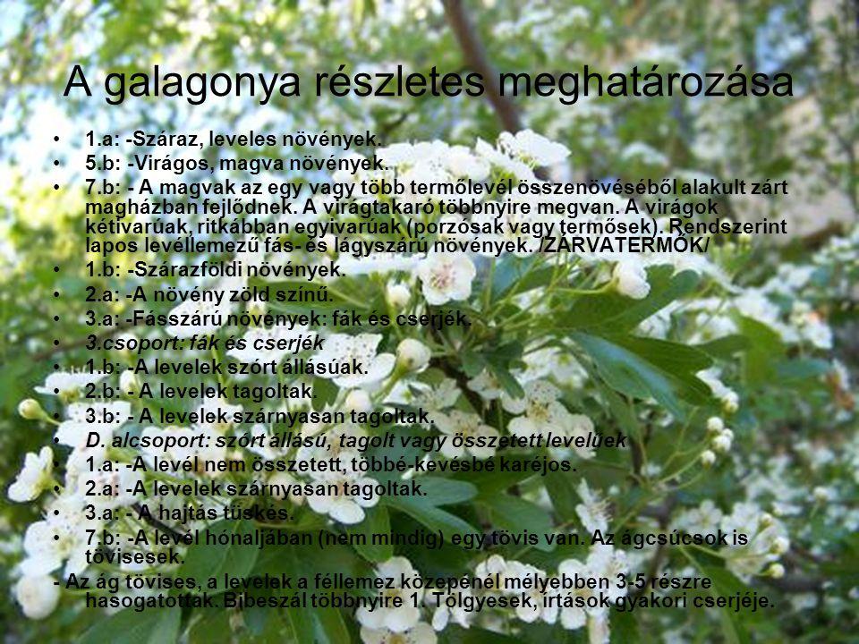 A galagonya részletes meghatározása 1.a: -Száraz, leveles növények. 5.b: -Virágos, magva növények. 7.b: - A magvak az egy vagy több termőlevél összenö