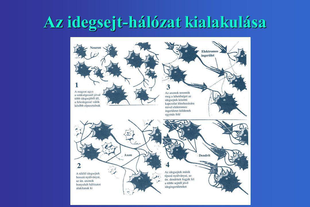Az idegsejt-hálózat kialakulása