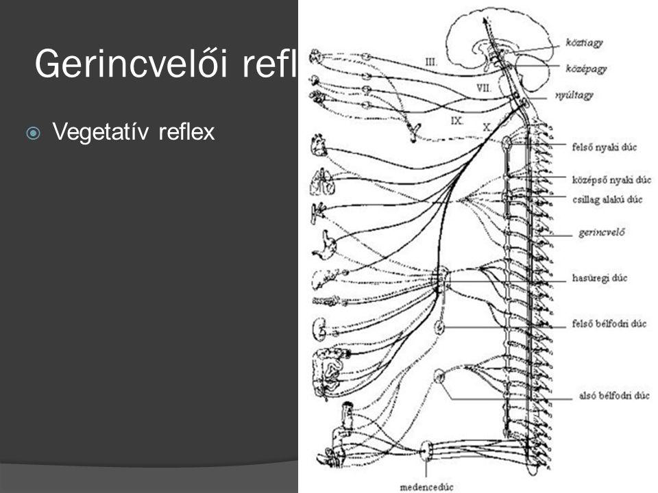 Gerincvelői reflex 4.  Vegetatív reflex
