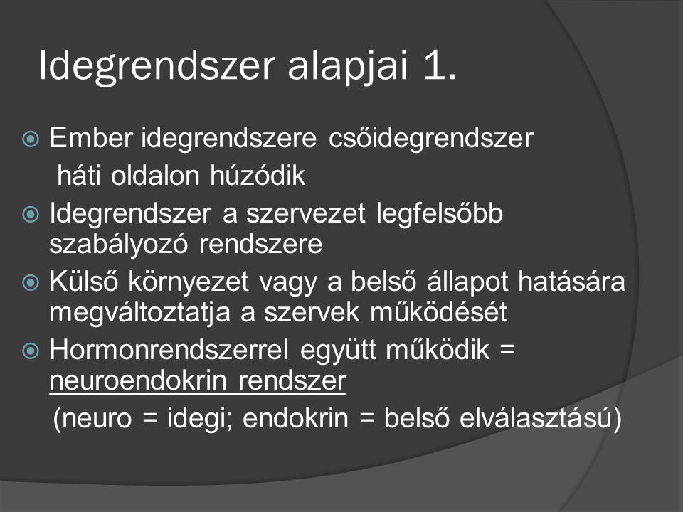 Gerincvelői reflex 1.  Térdreflex – szomatikus reflex (nem akaratlagos)
