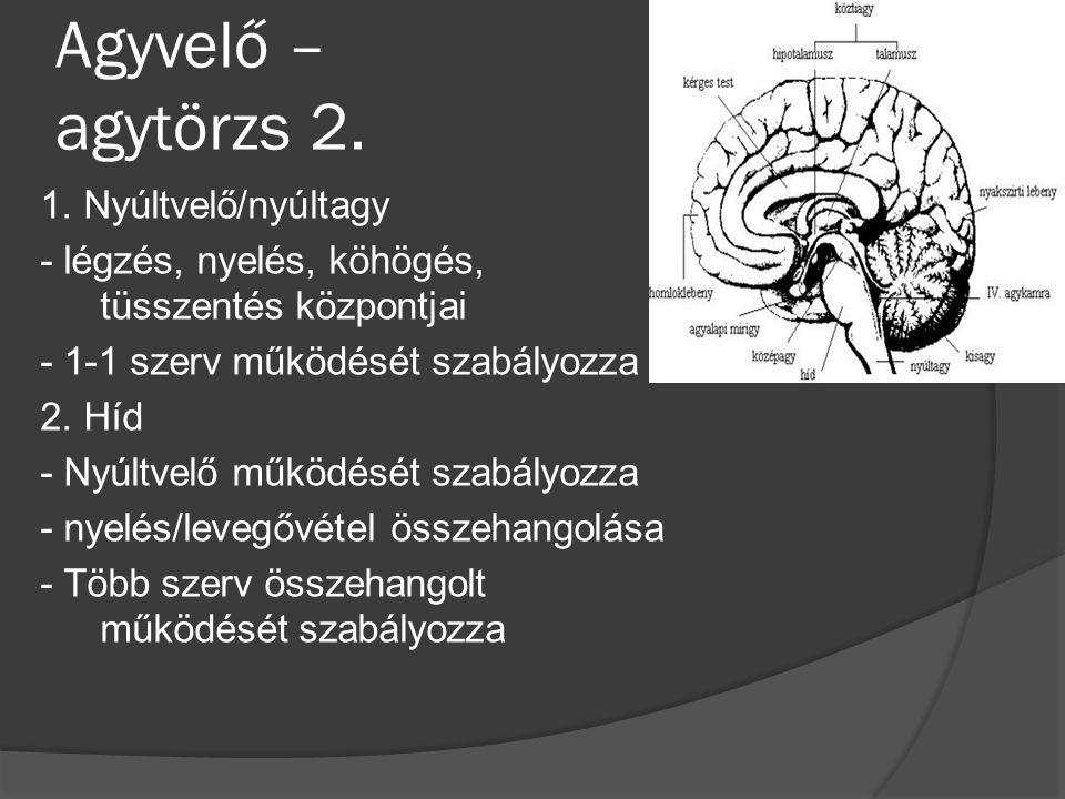 Agyvelő – agytörzs 2. 1. Nyúltvelő/nyúltagy - légzés, nyelés, köhögés, tüsszentés központjai - 1-1 szerv működését szabályozza 2. Híd - Nyúltvelő műkö