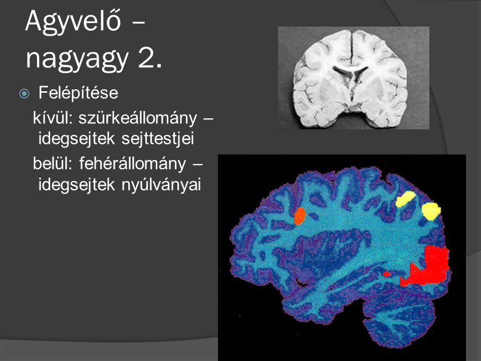 Agyvelő – nagyagy 2.  Felépítése kívül: szürkeállomány – idegsejtek sejttestjei belül: fehérállomány – idegsejtek nyúlványai