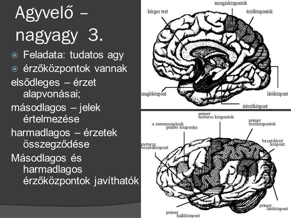 Agyvelő – nagyagy 3.  Feladata: tudatos agy  érzőközpontok vannak elsődleges – érzet alapvonásai; másodlagos – jelek értelmezése harmadlagos – érzet