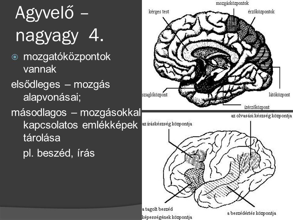 Agyvelő – nagyagy 4.  mozgatóközpontok vannak elsődleges – mozgás alapvonásai; másodlagos – mozgásokkal kapcsolatos emlékképek tárolása pl. beszéd, í