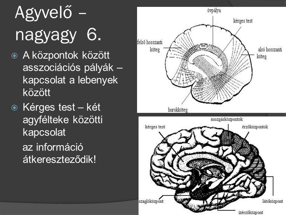 Agyvelő – nagyagy 6.  A központok között asszociációs pályák – kapcsolat a lebenyek között  Kérges test – két agyfélteke közötti kapcsolat az inform