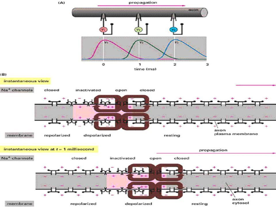 Idegrendszer alapjai 6. 2. Ingerület terjedése az axon mentén akkor, ha eléri az ingerület az axon-eredési dombot ekkor akciós potenciál képződik – me