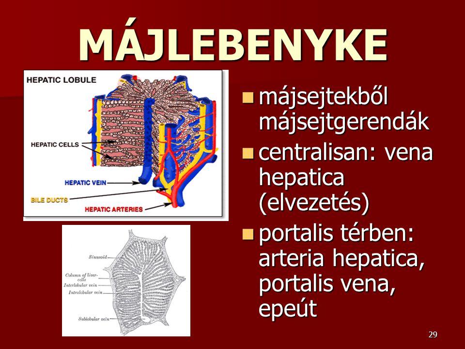 29 MÁJLEBENYKE májsejtekből májsejtgerendák májsejtekből májsejtgerendák centralisan: vena hepatica (elvezetés) centralisan: vena hepatica (elvezetés)