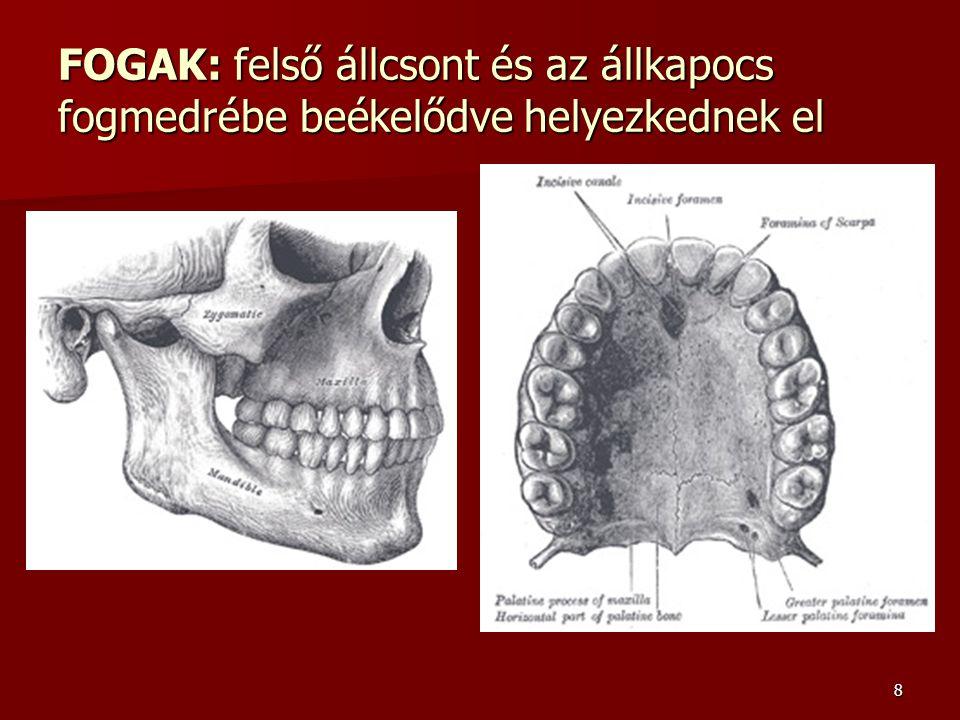 8 FOGAK: felső állcsont és az állkapocs fogmedrébe beékelődve helyezkednek el