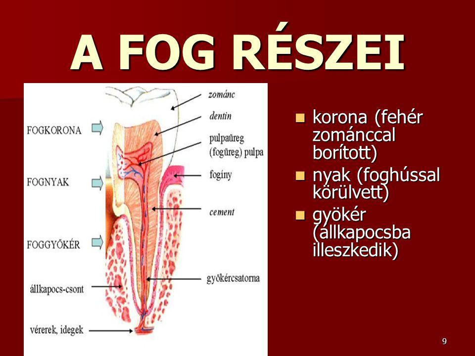 9 A FOG RÉSZEI korona (fehér zománccal borított) korona (fehér zománccal borított) nyak (foghússal körülvett) nyak (foghússal körülvett) gyökér (állka
