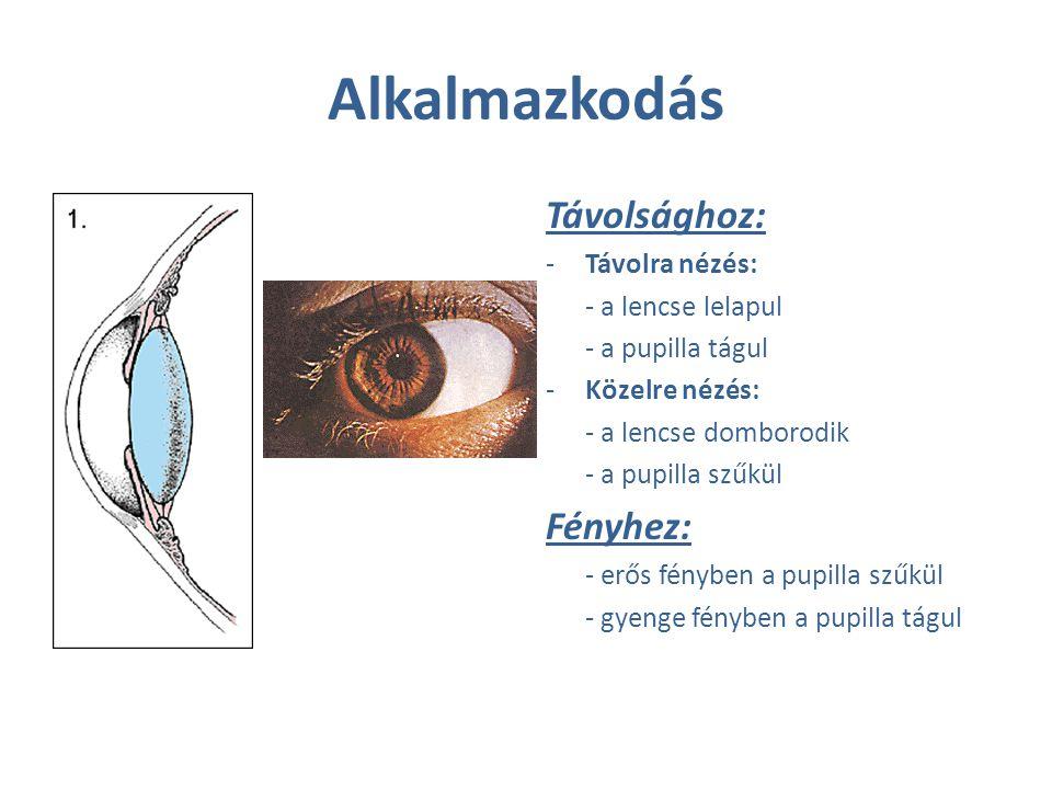Alkalmazkodás Távolsághoz: -Távolra nézés: - a lencse lelapul - a pupilla tágul -Közelre nézés: - a lencse domborodik - a pupilla szűkül Fényhez: - er