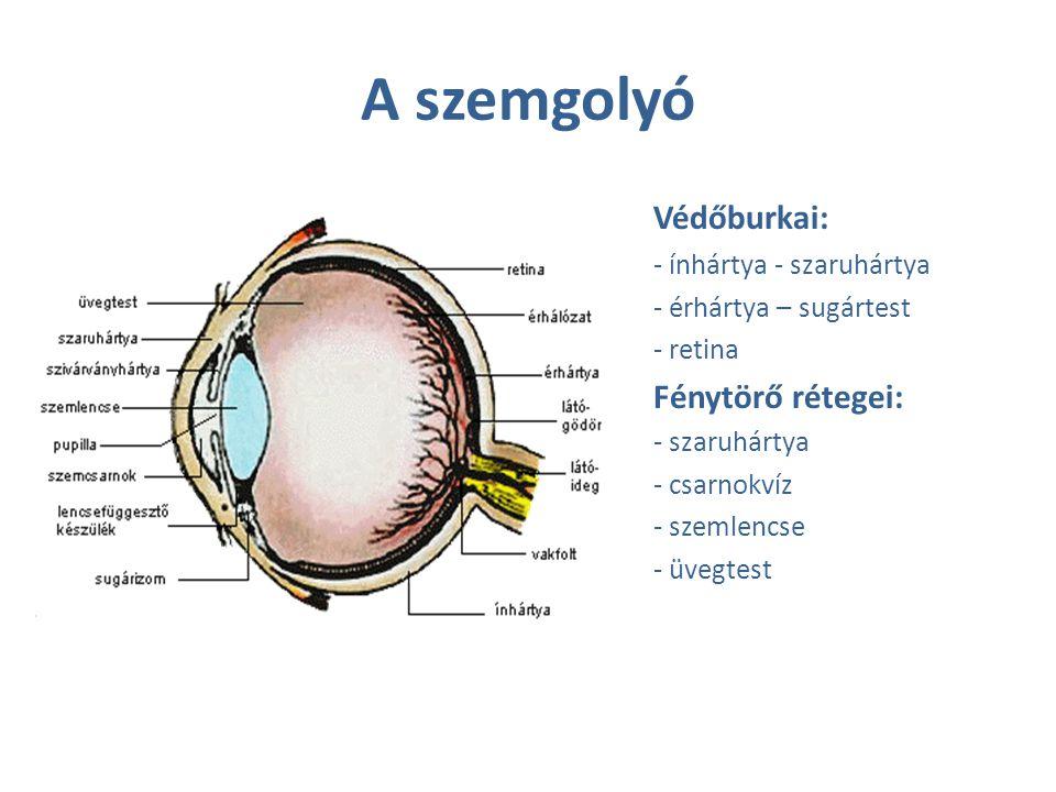 A szemgolyó Védőburkai: - ínhártya - szaruhártya - érhártya – sugártest - retina Fénytörő rétegei: - szaruhártya - csarnokvíz - szemlencse - üvegtest