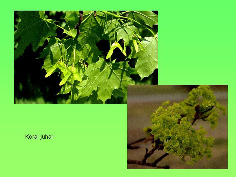 Termete, alakja, Levele 30 m, terebélyes, oszlopos Kerekded, szives vállú kihegyesedő VirágaHalvány sárgák, ötszirmúak, fürtökben állnak TerméseKerek, fásodó makkocska Környezeti igényei, termőhelye Sziklás, üde erdő, meszes talajt kedveli Egyéb A levelek érzugaiban szőrcsomók