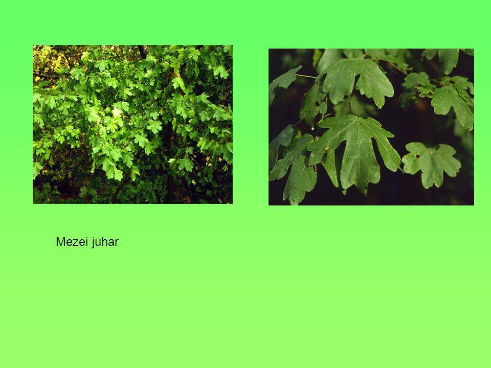 Termete: Levelei: 5-7 karéjúak, szálkába keskenyedően fogazottak Virágai: Kicsik, sárgászöldek, öttagúak, ernyőszerű bugákban állnak Termése:Ikerlependék, a lependékek széles szögben állnak Termőhelye: Üde lomberdők Érdekesség:Fája világos, ellenálló 20 m.