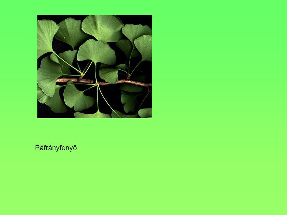 Termete, alakja, Levele 10-15 m, terebélyes 5 karéjra tagolódik, a karéjok tompa csúcsúak VirágaEgylaki, halványzöld, fürtben nyíló egyivarú virágok T
