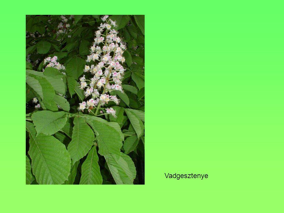 Termete, alakja, Levele 40 m, terebélyes, kúpos Legyező alakú, az erek a nyélből villásan ágaznak el VirágaPorzósak barkát alkotnak, a termősek magány