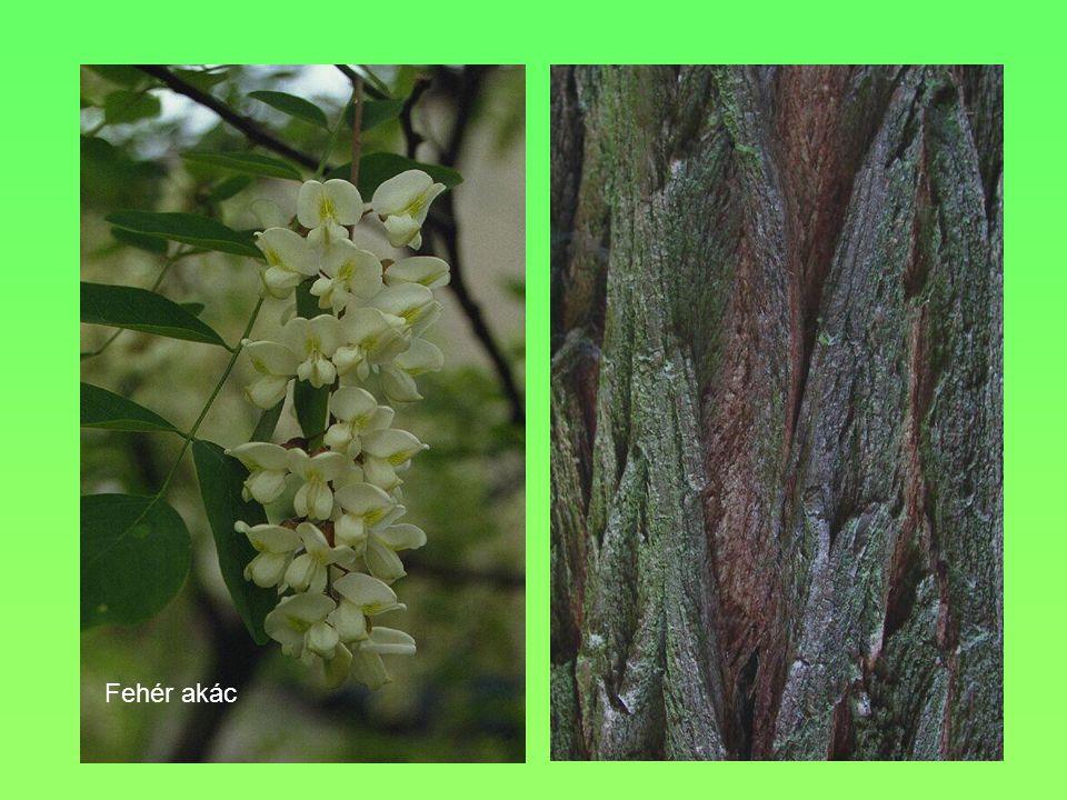 Termete, alakja, Levele 10-15 m, terebélyes 5 karéjra tagolódik, a karéjok tompa csúcsúak VirágaEgylaki, halványzöld, fürtben nyíló egyivarú virágok Termése Környezeti igényei, termőhelye Meszes, laza talaj Egyéb Másik neve iharfa, sövénynek is ültethető