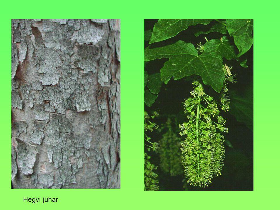 Termete, alakja, Levele 25 m magas Összetett, páratlanul szárnyalt VirágaFehérek, édes illatúak, 10-20 cm-s Fürtökben csüngenek TerméseHüvely,5-10 cm, Környezeti igényei, termőhelye Mérsékelten száraz területeket kedveli Egyéb Kérge mélyen, csavarodottan barázdált.