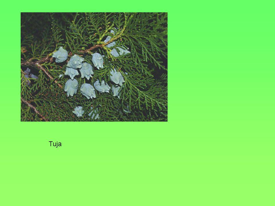 Termete, alakja, Levele 30-40 m Tenyeresen karéjos, 5 karéjjal Virága TerméseIkerlependék, egymáshoz kb. derékszögben Környezeti igényei, termőhelye H