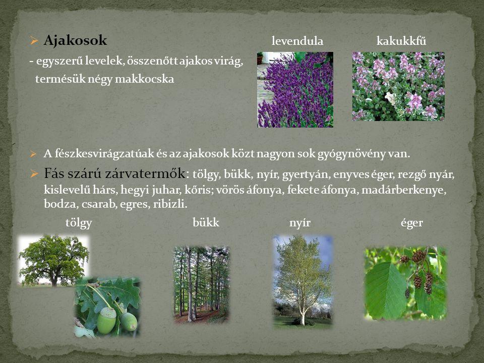  Ajakosok levendula kakukkfű - egyszerű levelek, összenőtt ajakos virág, termésük négy makkocska  A fészkesvirágzatúak és az ajakosok közt nagyon so