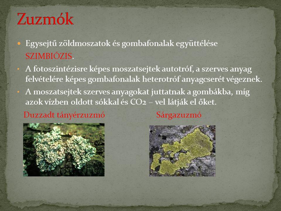 Egysejtű zöldmoszatok és gombafonalak együttélése SZIMBIÓZIS. A fotoszintézisre képes moszatsejtek autotróf, a szerves anyag felvételére képes gombafo