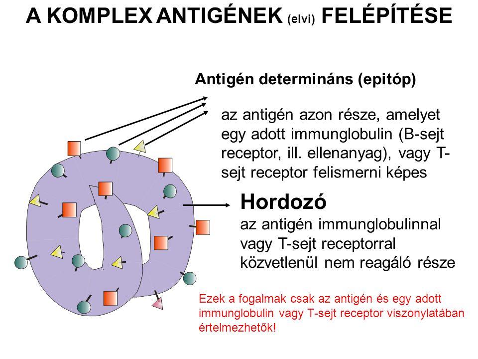 BCR (mIg) Ig (antitest) A B sejtek képesek felismerni a natív antigéneket A T sejtek csak az előzetesen lebontott, feldolgozott majd prezentált antigéneket képesek felismerni