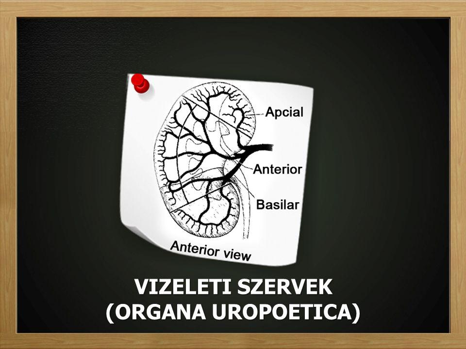 VIZELETI SZERVEK (ORGANA UROPOETICA)