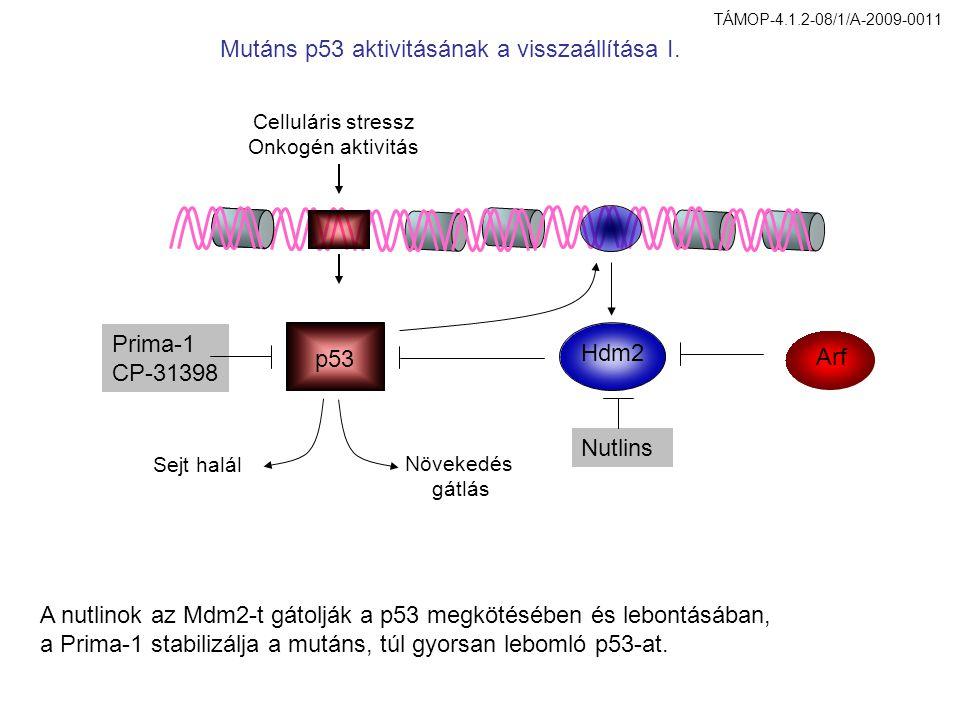 Celluláris stressz Onkogén aktivitás p53 Hdm2 Arf Nutlins Prima-1 CP-31398 Sejt halál Növekedés gátlás A nutlinok az Mdm2-t gátolják a p53 megkötésében és lebontásában, a Prima-1 stabilizálja a mutáns, túl gyorsan lebomló p53-at.