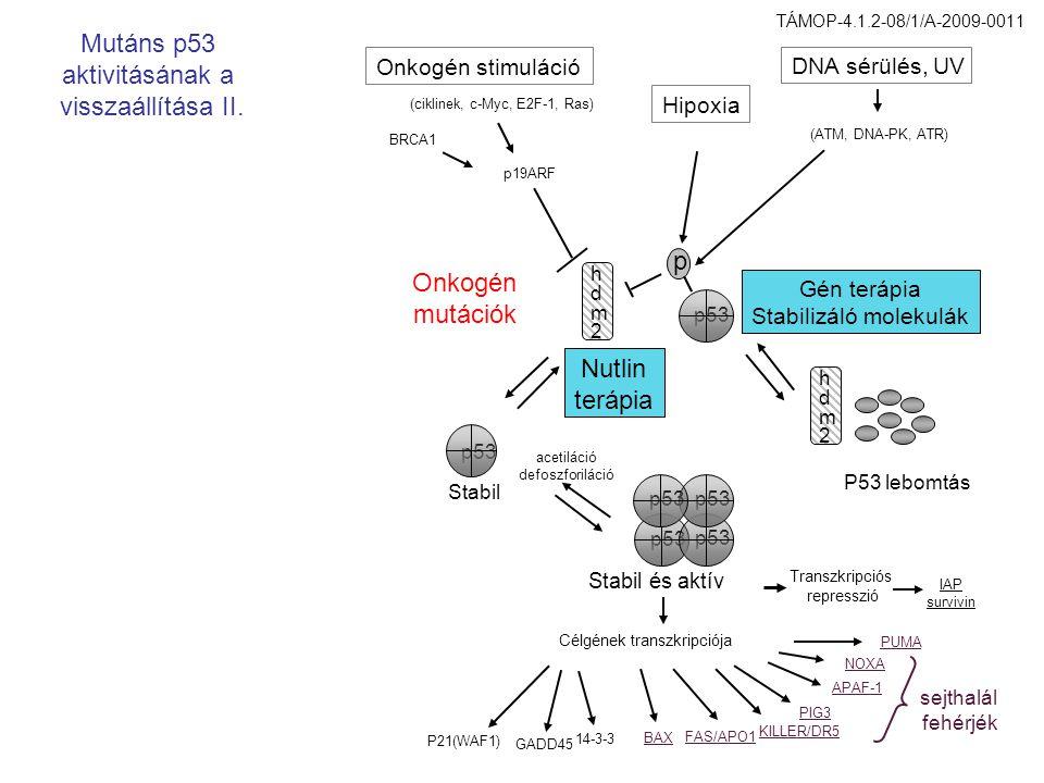 hdm2hdm2 hdm2hdm2 p53 p BRCA1 Onkogén stimuláció (ciklinek, c-Myc, E2F-1, Ras) p19ARF Hipoxia DNA sérülés, UV (ATM, DNA-PK, ATR) P53 lebomtás Stabil é