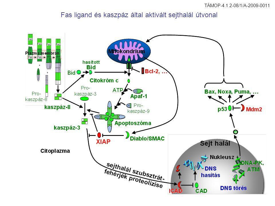 Fas ligand és kaszpáz által aktivált sejthalál útvonal TÁMOP-4.1.2-08/1/A-2009-0011