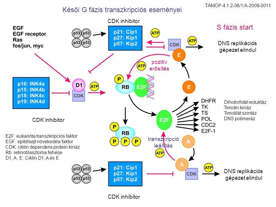 CDK inhibitor Dihidrofolát reduktáz Timidin kináz Timidilát szintáz DNS polimeráz E2F: eukarióta transzkripciós faktor EGF: epitélsejt növekedési faktor CDK: ciklin dependens protein kináz Rb: retinoblasztoma fehérje D1, A, E: Ciklin D1, A és E DNS replikációs gépezet elindul DNS replikációs gépezet elindul S fázis start pozitív erősítés transzkripció leállítás Késői G fázis transzkripciós eseményei TÁMOP-4.1.2-08/1/A-2009-0011
