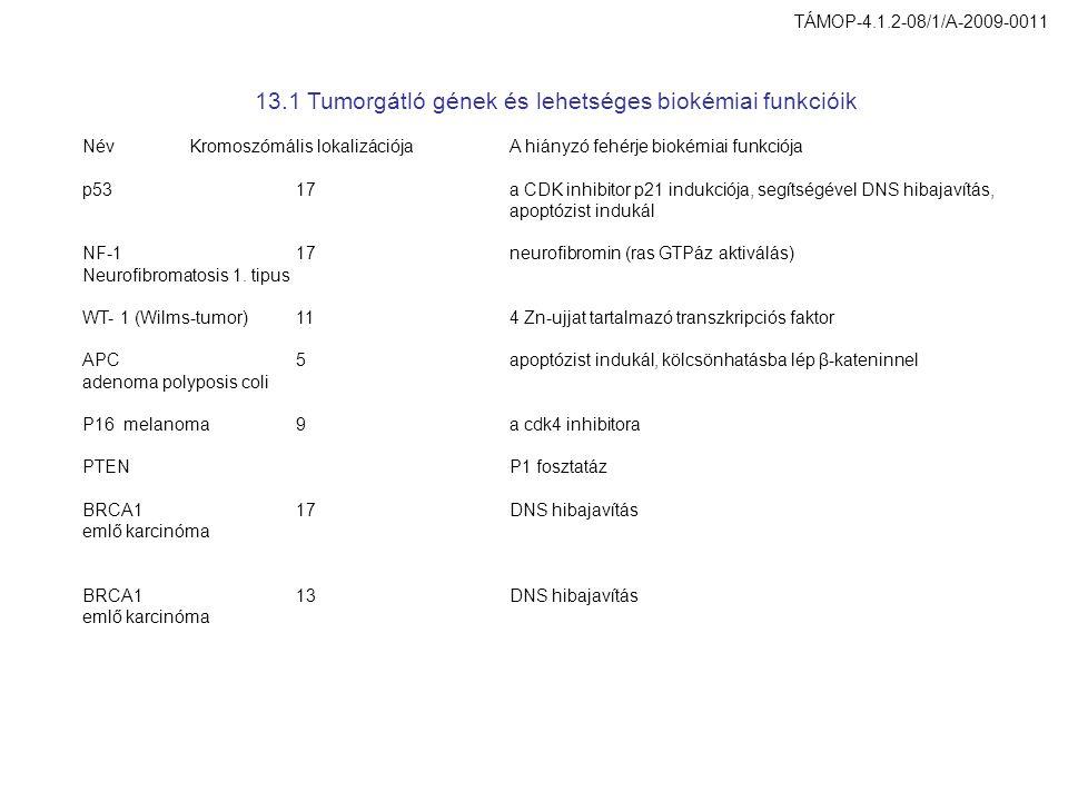 13.1 Tumorgátló gének és lehetséges biokémiai funkcióik NévKromoszómális lokalizációjaA hiányzó fehérje biokémiai funkciója p5317a CDK inhibitor p21 indukciója, segítségével DNS hibajavítás, apoptózist indukál NF-117neurofibromin (ras GTPáz aktiválás) Neurofibromatosis 1.