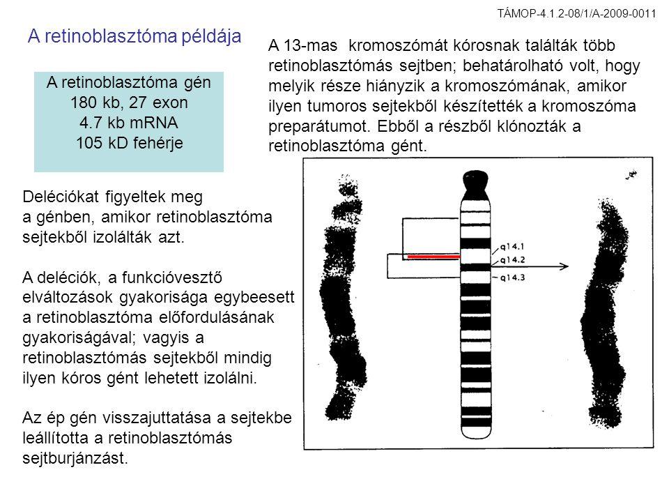 A retinoblasztóma gén 180 kb, 27 exon 4.7 kb mRNA 105 kD fehérje A 13-mas kromoszómát kórosnak találták több retinoblasztómás sejtben; behatárolható volt, hogy melyik része hiányzik a kromoszómának, amikor ilyen tumoros sejtekből készítették a kromoszóma preparátumot.