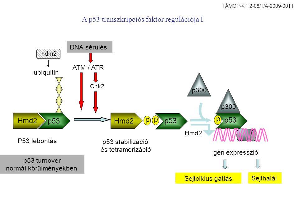 Hmd2 p53 p p p p300 DNA sérülés ATM / ATR Chk2 Hmd2 gén expresszió Sejtciklus gátlás Sejthalál P53 lebontás p53 stabilizáció és tetramerizáció ubiquitin A p53 transzkripciós faktor regulációja I.