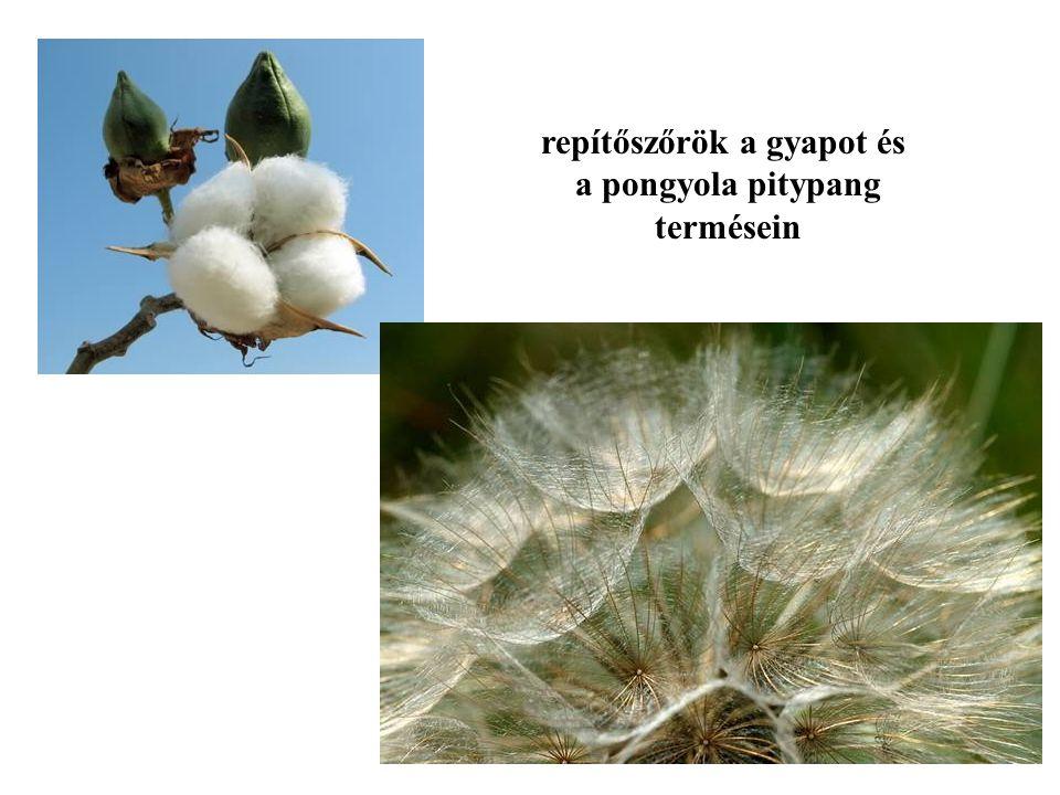 repítőszőrök a gyapot és a pongyola pitypang termésein