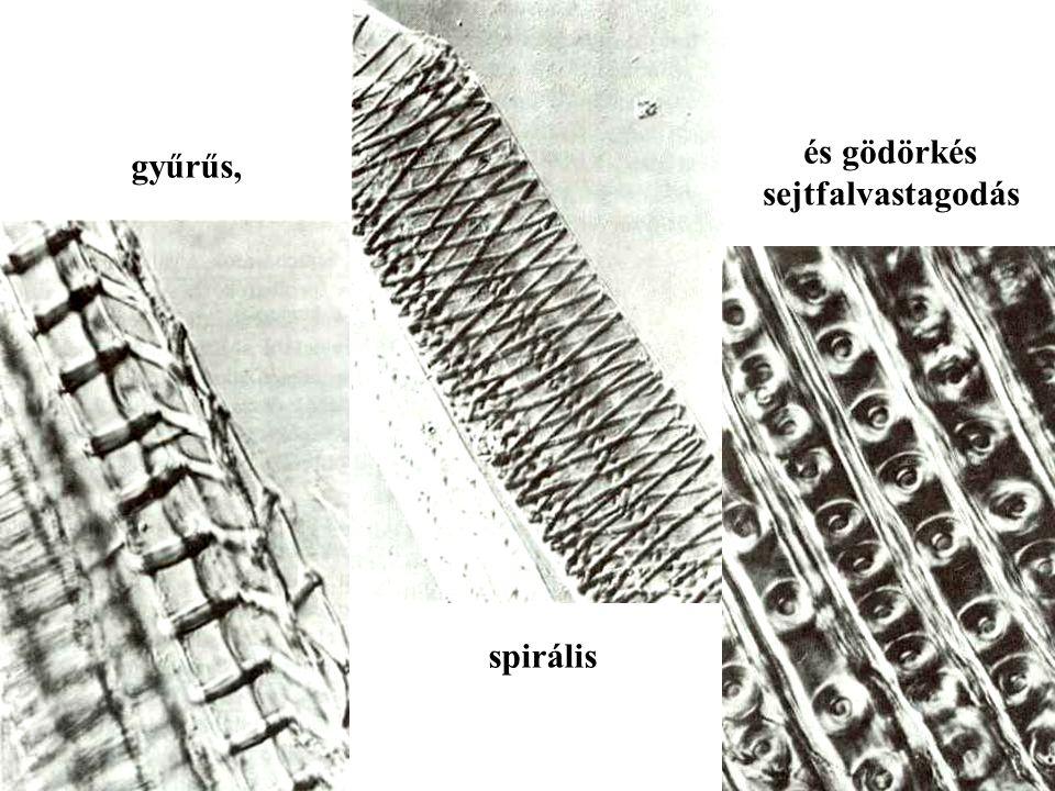 gyűrűs, spirális és gödörkés sejtfalvastagodás