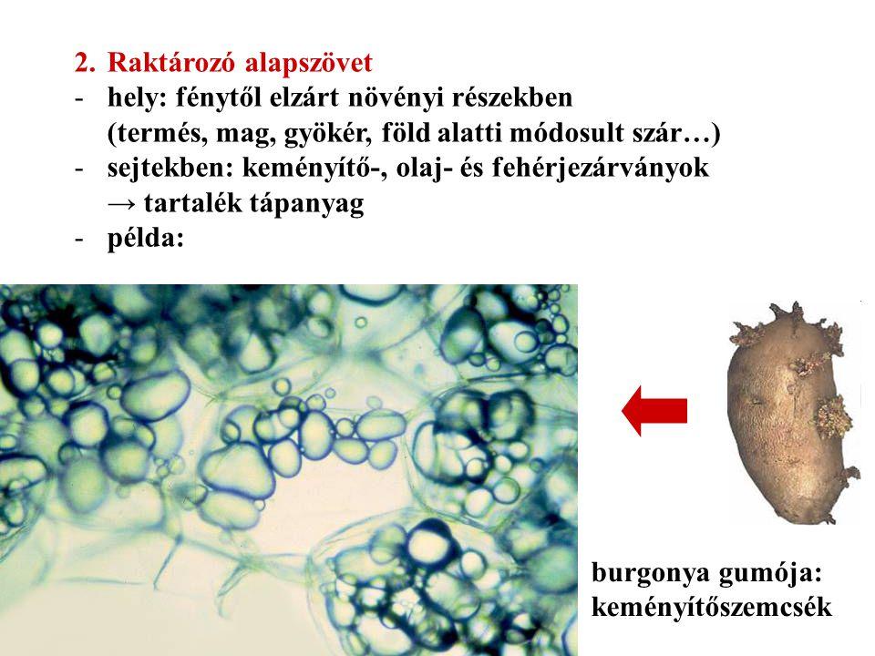 2.Raktározó alapszövet -hely: fénytől elzárt növényi részekben (termés, mag, gyökér, föld alatti módosult szár…) -sejtekben: keményítő-, olaj- és fehé