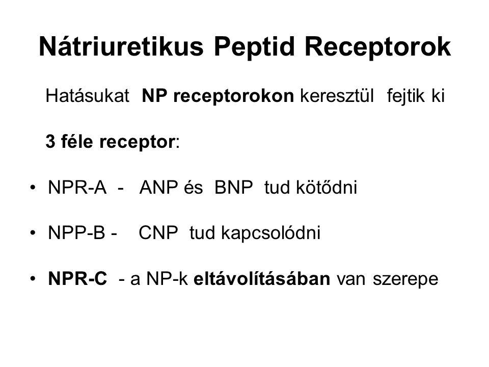 Nátriuretikus Peptid Receptorok Hatásukat NP receptorokon keresztül fejtik ki 3 féle receptor: NPR-A - ANP és BNP tud kötődni NPP-B - CNP tud kapcsolódni NPR-C - a NP-k eltávolításában van szerepe
