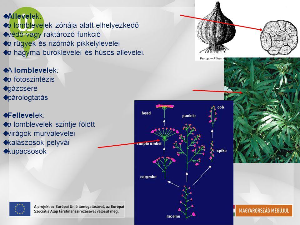  Allevelek:  a lomblevelek zónája alatt elhelyezkedő  védő vagy raktározó funkció  a rügyek és rizómák pikkelylevelei  a hagyma buroklevelei és h