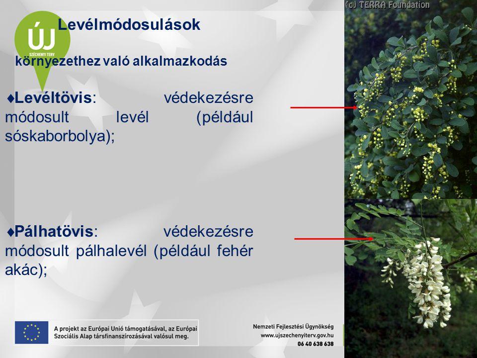 Levélmódosulások környezethez való alkalmazkodás  Levéltövis: védekezésre módosult levél (például sóskaborbolya);  Pálhatövis: védekezésre módosult