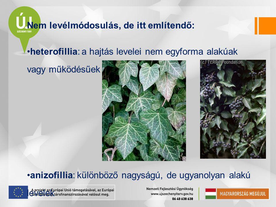 Nem levélmódosulás, de itt említendő: heterofillia: a hajtás levelei nem egyforma alakúak vagy működésűek anizofillia: különböző nagyságú, de ugyanoly