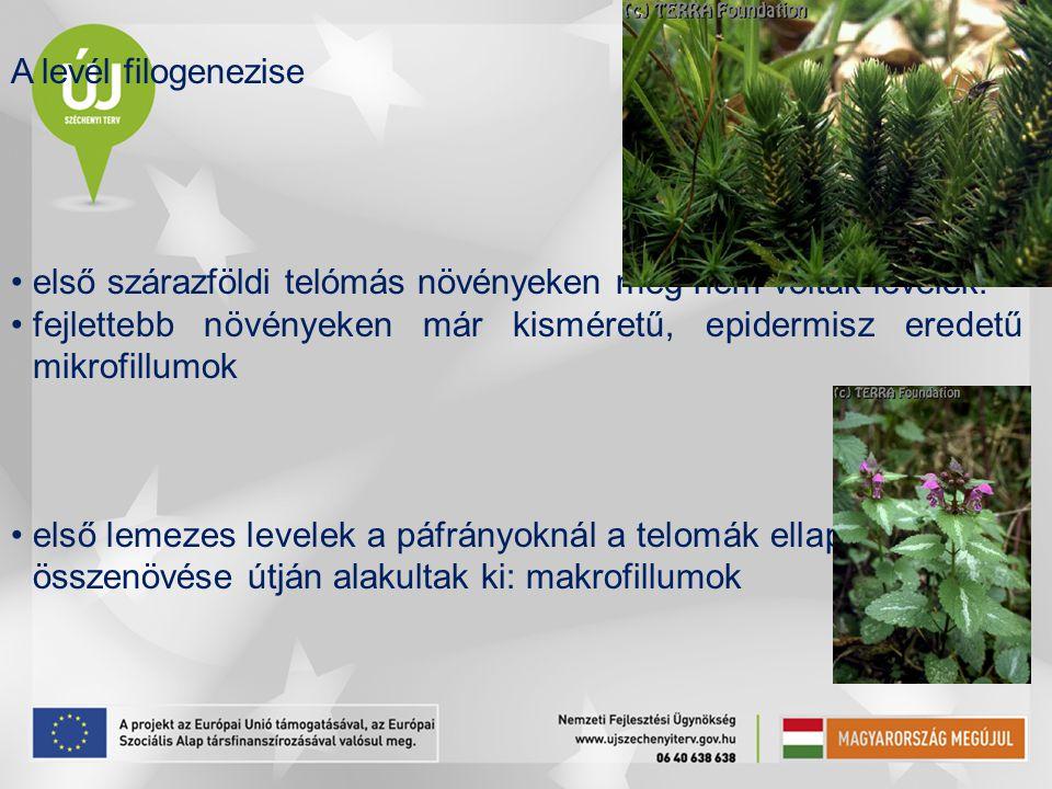 A levél filogenezise első szárazföldi telómás növényeken még nem voltak levelek. fejlettebb növényeken már kisméretű, epidermisz eredetű mikrofillumok