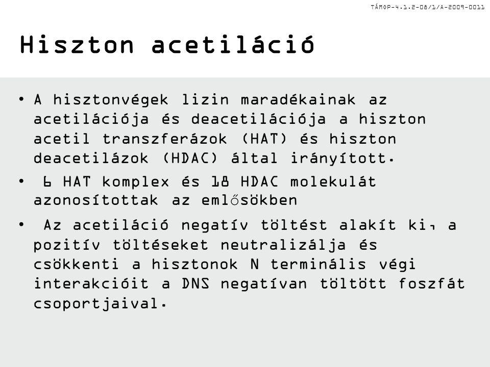 TÁMOP-4.1.2-08/1/A-2009-0011 Hiszton acetiláció A hisztonvégek lizin maradékainak az acetilációja és deacetilációja a hiszton acetil transzferázok (HAT) és hiszton deacetilázok (HDAC) által irányított.