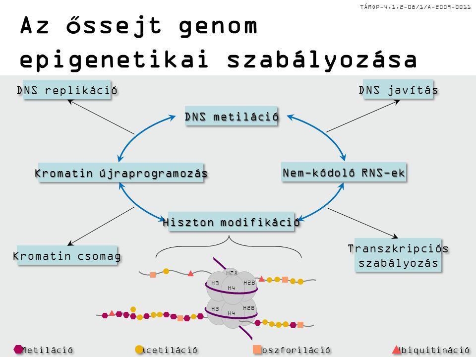 TÁMOP-4.1.2-08/1/A-2009-0011 Az őssejt genom epigenetikai szabályozása DNS replikáció DNS javítás Kromatin csomag Transzkripciós szabályozás Transzkri