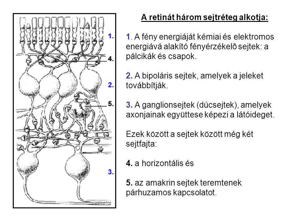 A retinát három sejtréteg alkotja: 1. A fény energiáját kémiai és elektromos energiává alakító fényérzékelõ sejtek: a pálcikák és csapok. 2. A bipolár