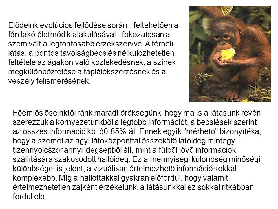Elõdeink evolúciós fejlõdése során - feltehetõen a fán lakó életmód kialakulásával - fokozatosan a szem vált a legfontosabb érzékszervvé. A térbeli lá