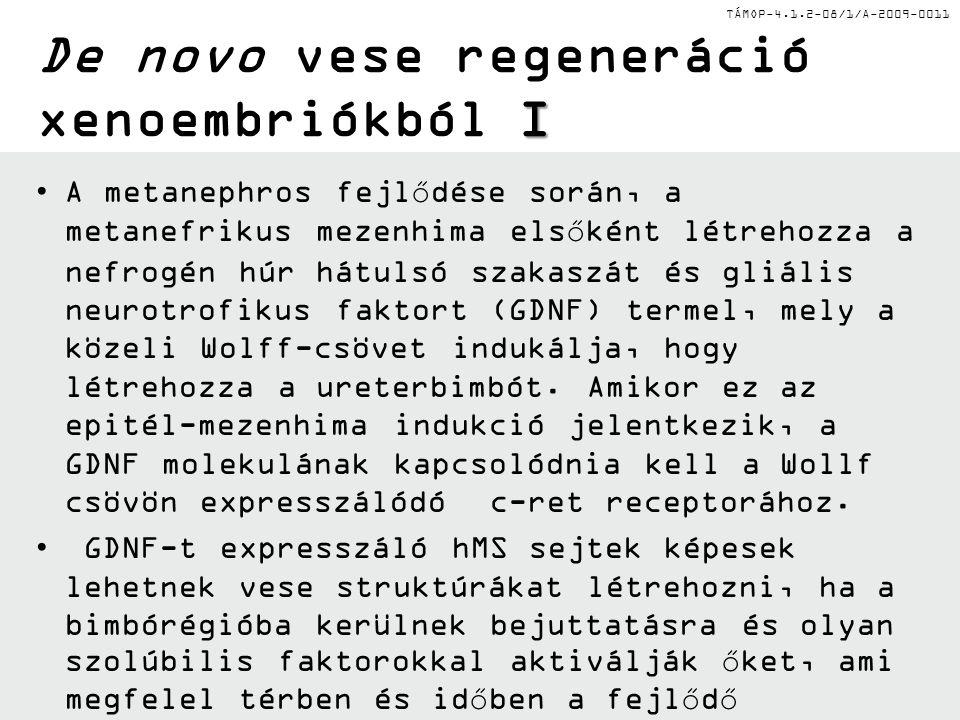 TÁMOP-4.1.2-08/1/A-2009-0011 Blasztociszták felhasználása de novo vese regenerálódásban Normál ES sejtek bejuttatása RAG2 deficiens egér blasztocisztáiba (melyeknek normál esetben nincsenek limfoid sejtjük) olyan szomatikus kimérákat eredményezett, melyek rendelkeztek érett B és T sejtekkel.