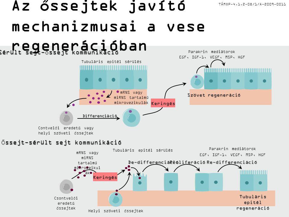 TÁMOP-4.1.2-08/1/A-2009-0011 Mikrovezikulák szerepe a vese regenerációban A humán MS sejtek képesek mikrovezikulákat kibocsátani és a tubular epitél sejtek in vitro proliferációját ill.