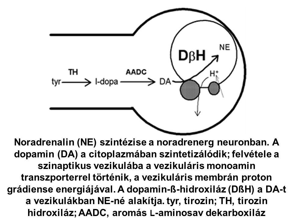 Noradrenalin (NE) szintézise a noradrenerg neuronban. A dopamin (DA) a citoplazmában szintetizálódik; felvétele a szinaptikus vezikulába a vezikuláris