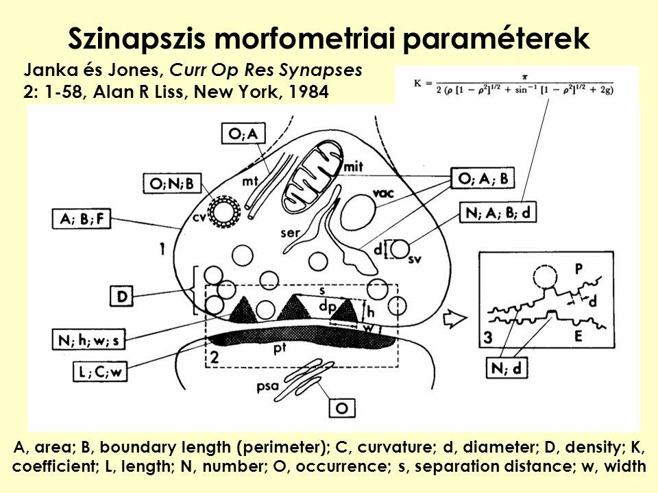 Szinapszis morfometriai paraméterek A, area; B, boundary length (perimeter); C, curvature; d, diameter; D, density; K, coefficient; L, length; N, numb
