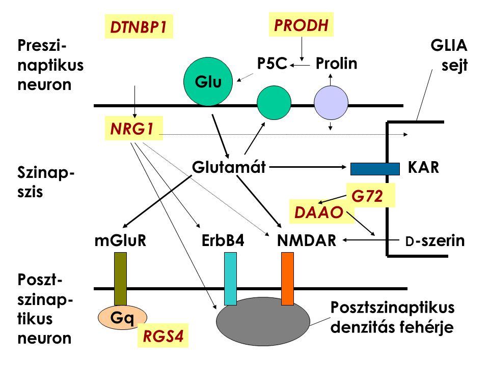 Glutamát KAR mGluR ErbB4 NMDAR D -szerin Preszi- naptikus neuron Szinap- szis Poszt- szinap- tikus neuron Glu Gq GLIA sejt NRG1 DTNBP1 P5C Prolin PROD